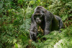 Gorilla habituation Bwindi Impenetrable National Park
