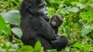 mountain gorillas trek Uganda