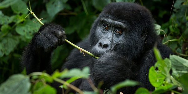 What is the best time for Gorilla trekking in Uganda